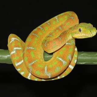 Available - Category: Corallus caninus